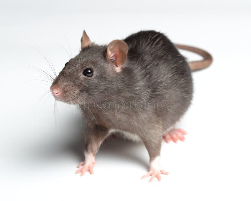 Ratte auf Weiß lizenzfreies stockfoto