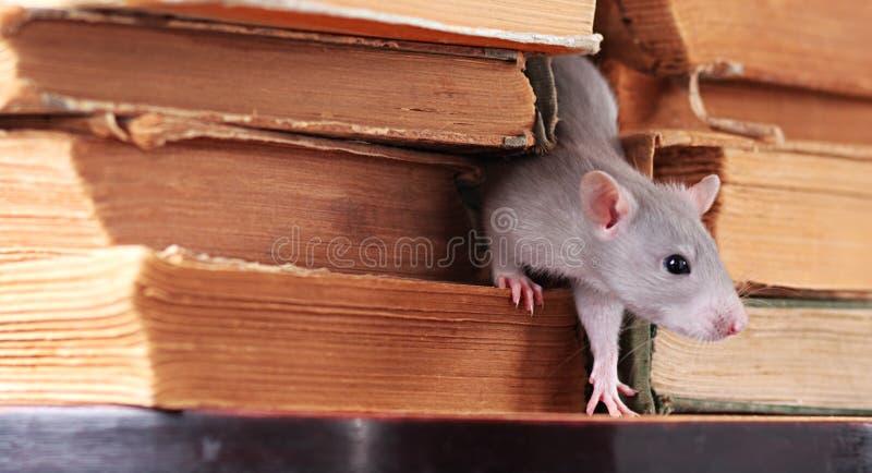 Ratte in der Bibliothek stockbilder