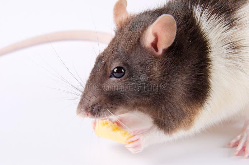 Ratte, die Käse isst lizenzfreie stockfotos