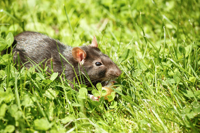 Ratte, die Kuchen isst lizenzfreie stockfotografie