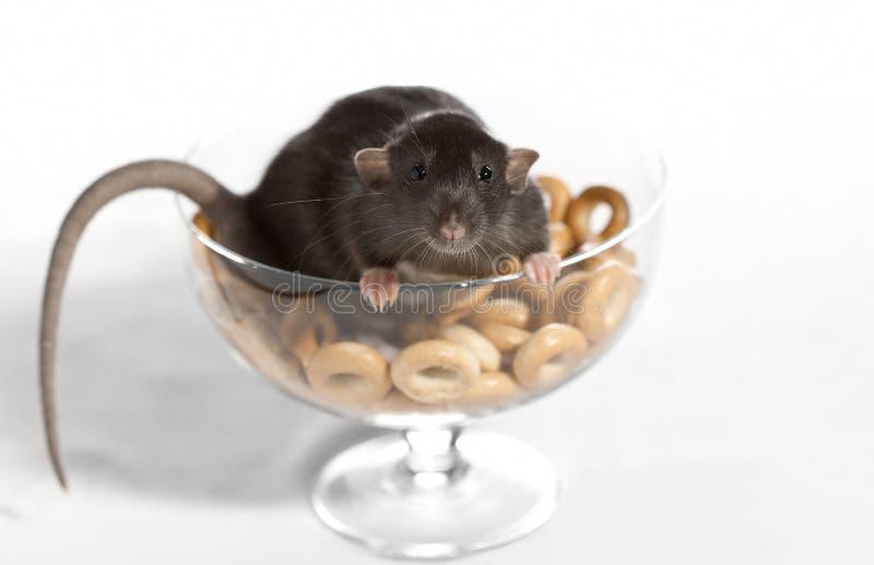 Ratte in einem Vase mit den Bageln. stockbild