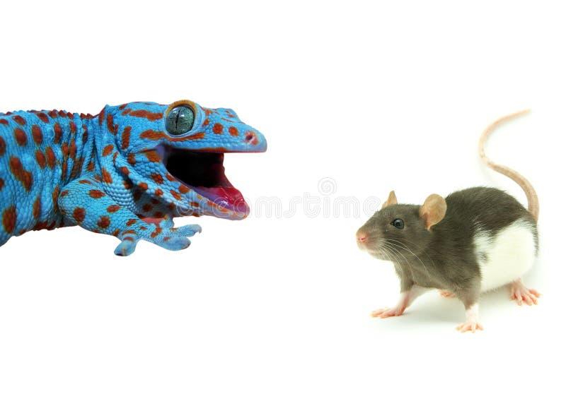Download Ratte und Eidechse stockfoto. Bild von eidechse, tropisch - 12201206