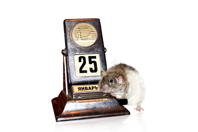 Ratte und Kalender lizenzfreies stockbild