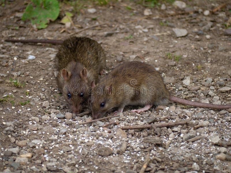 ratten stock foto's