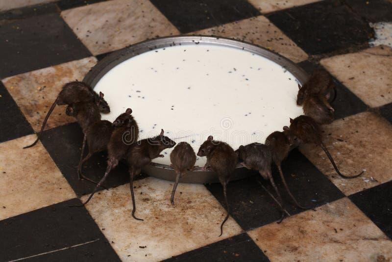 Ratten bij Tempel Deshnock royalty-vrije stock afbeelding