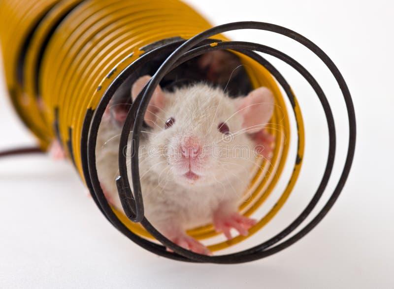 Ratten in einem Frühling lizenzfreies stockbild