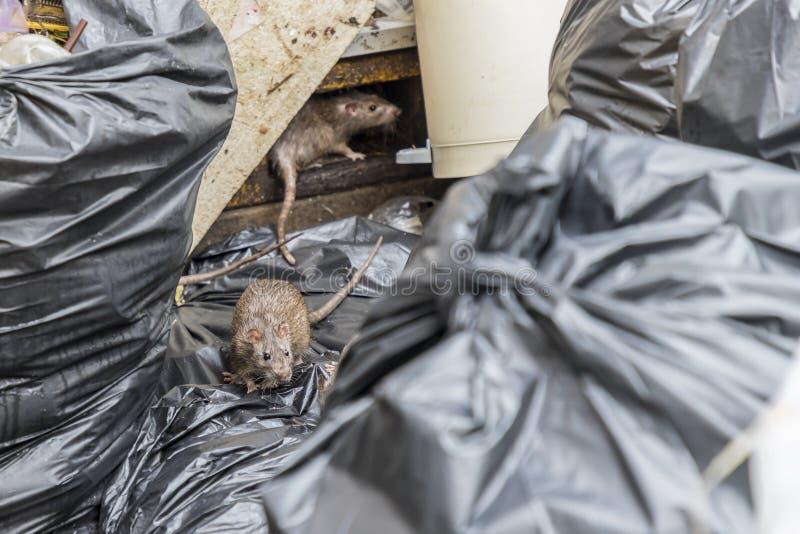 Ratten im alten Schaum des Abfalls und in den schwarzen Taschen lizenzfreies stockfoto