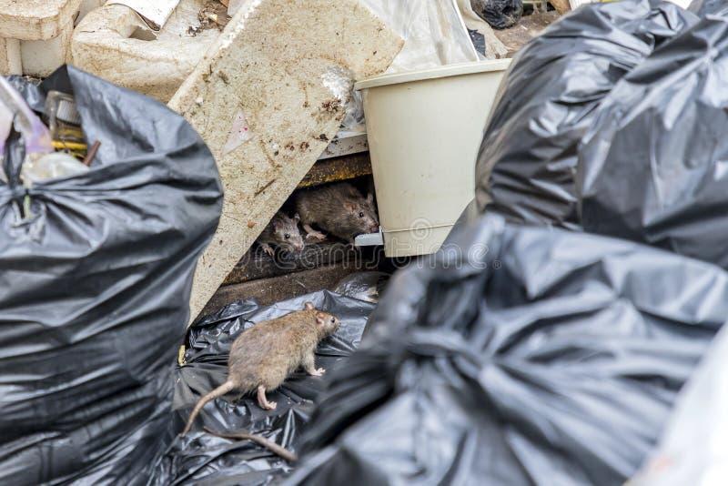 Ratten im alten Schaum des Abfalls und in den schwarzen Taschen stockfoto