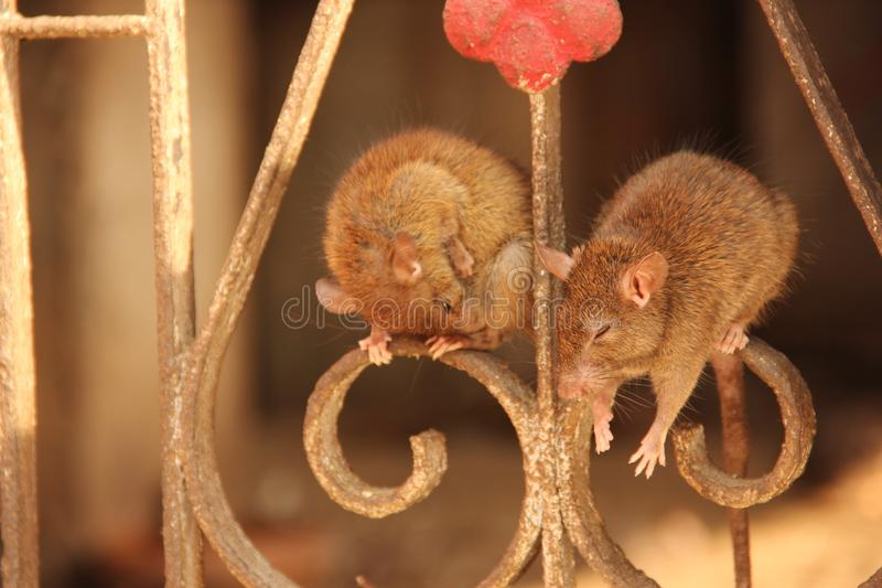 Ratten in Karni Mata Temple royalty-vrije stock fotografie