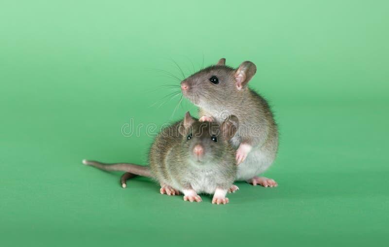 Ratten op een groene achtergrond stock foto