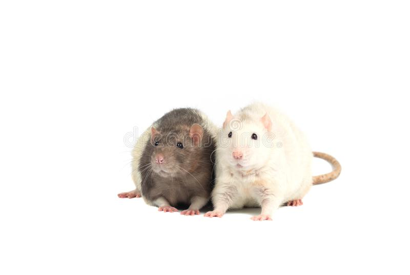 Ratten op witte achtergrond worden geïsoleerd die stock fotografie