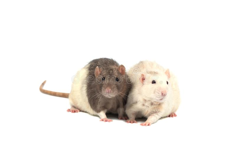 Ratten op witte achtergrond worden geïsoleerd die Twee ratten stock afbeelding