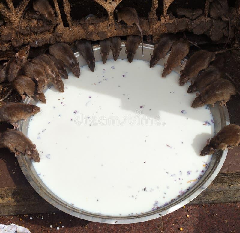 Ratten-Partei stockfoto