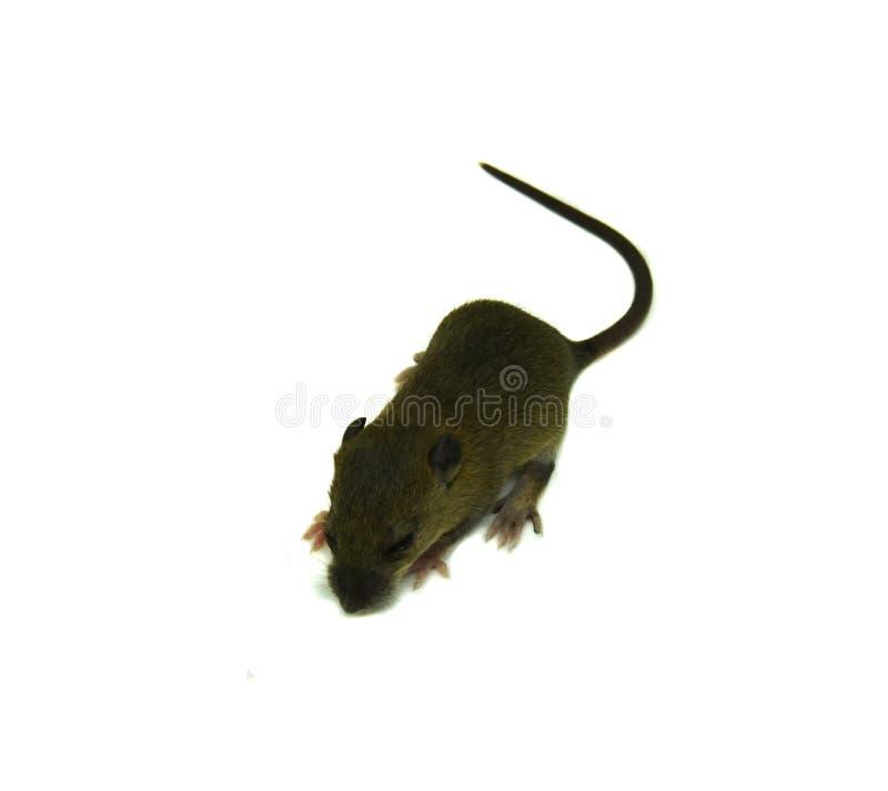 Rattenbaby op een witte achtergrond royalty-vrije stock foto