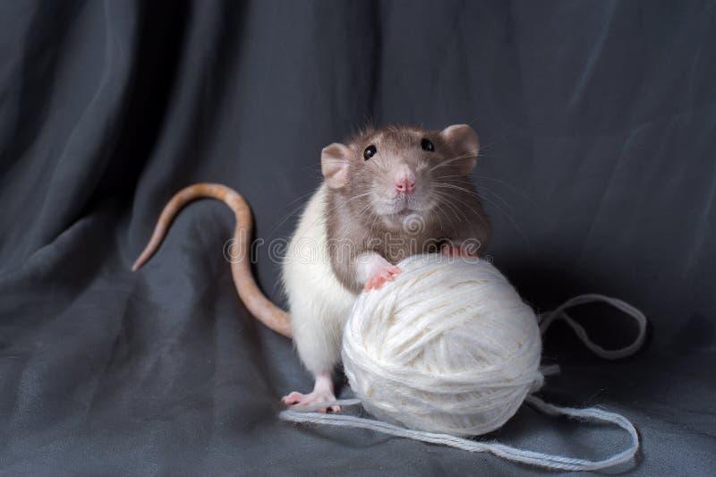 Rattennahaufnahme auf einem dunklen Hintergrund stockfotos