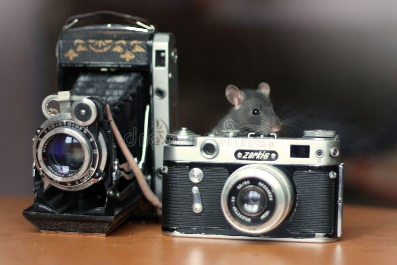 Rattenphotographien stockfotografie