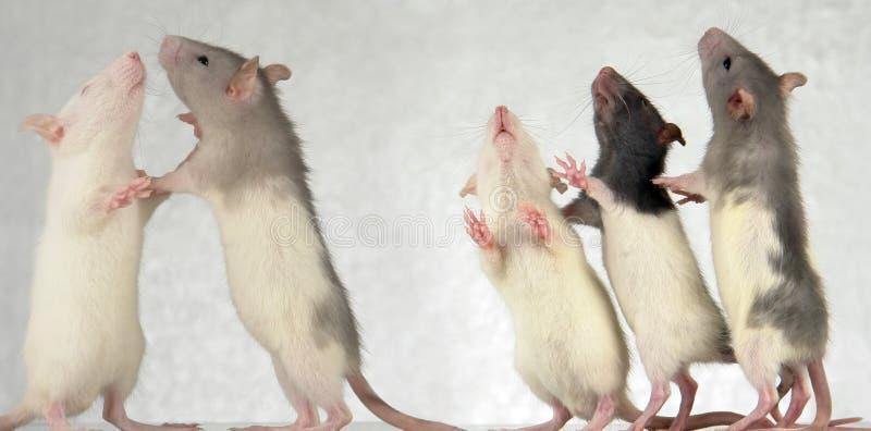 Ratti fotografia stock