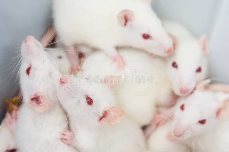 Ratti bianchi immagini stock