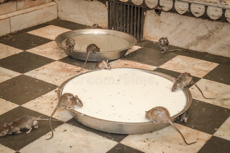 Ratti con latte nel Ragiastan fotografia stock