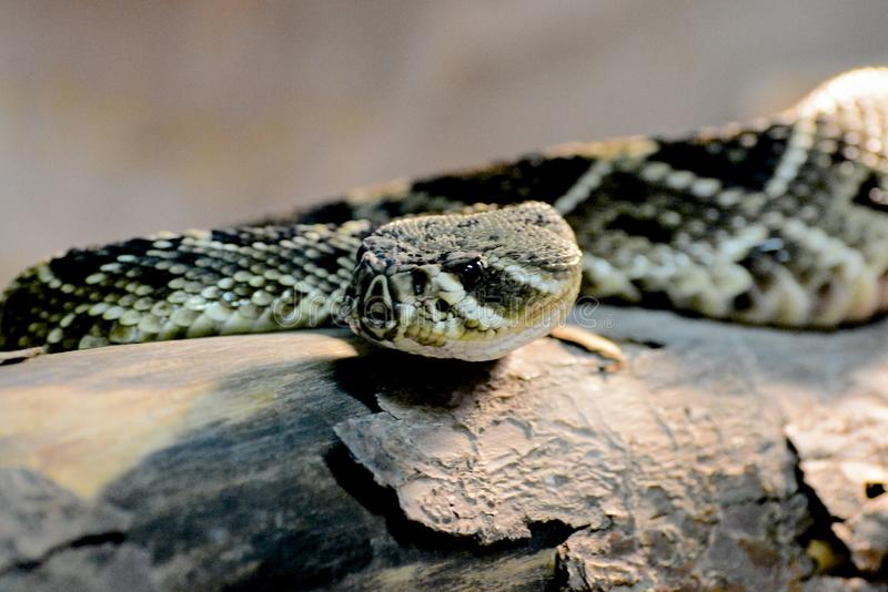 Rattle Snake. Close up of a rattle snake posed on a tree branch royalty free stock images