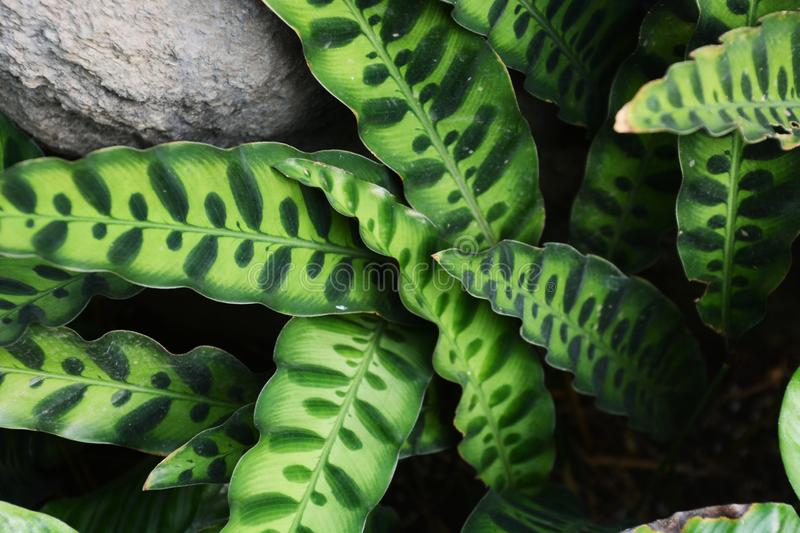 Rattle snake plant royalty free stock images