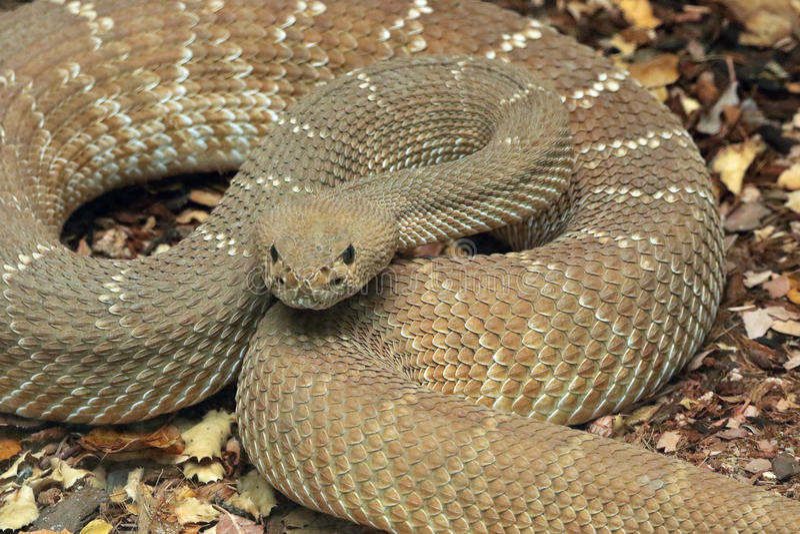 Rattle Snake. Red Diamond Rattlesnake Close Up royalty free stock photo