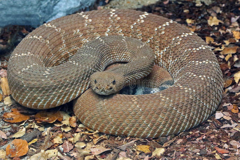 Rattle Snake. Red Diamond Rattlesnake Coiled Close Up stock photography