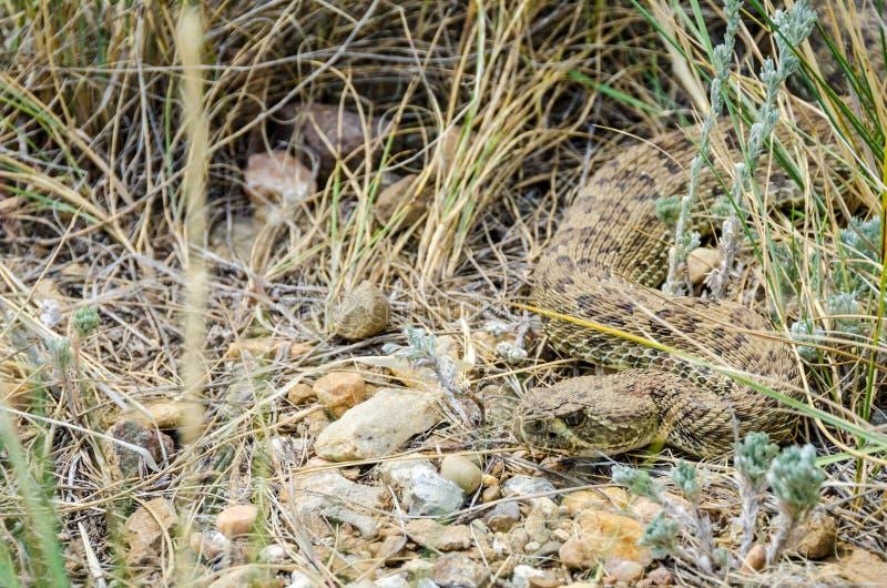 Rattlesnake прерии стоковое изображение