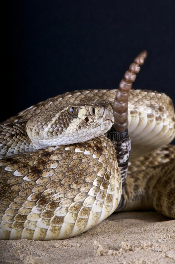 Rattlesnake royalty free stock photo