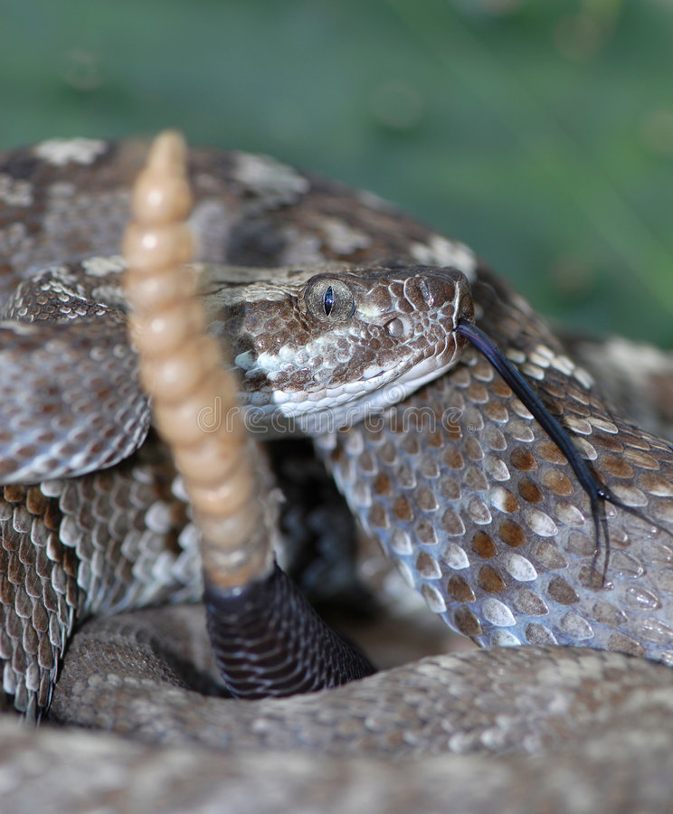 Download Rattlesnake stock photo. Image of isolated, green, study - 3685754