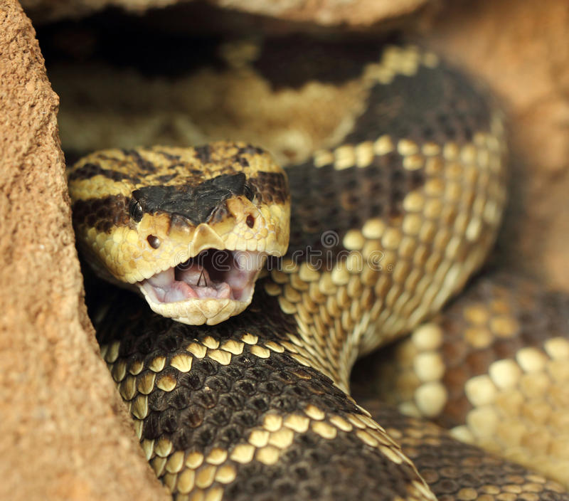 Rattlesnake stock photography