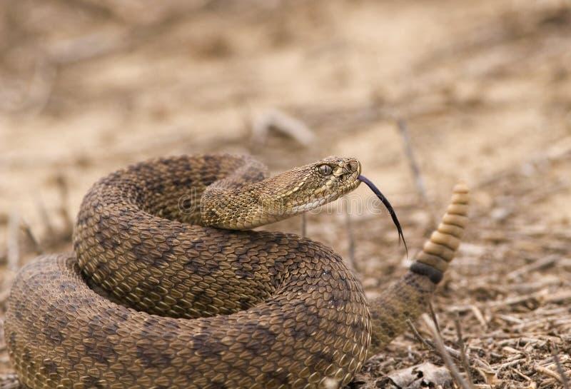 Rattlesnake fotografia stock libera da diritti
