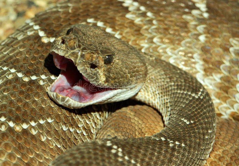 Rattlesnake Bite. Textured Rattler With Open Mouth royalty free stock image
