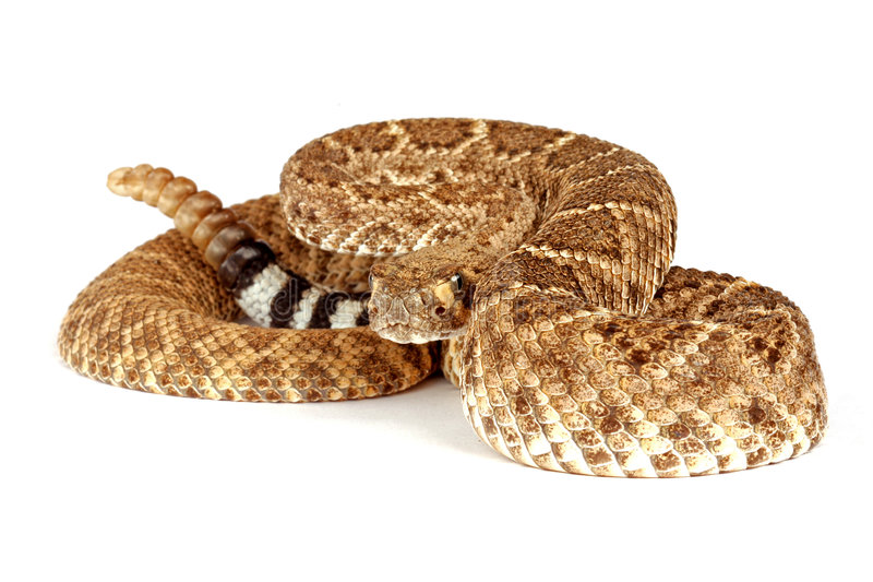 Rattlesnake di Diamondback occidentale fotografia stock