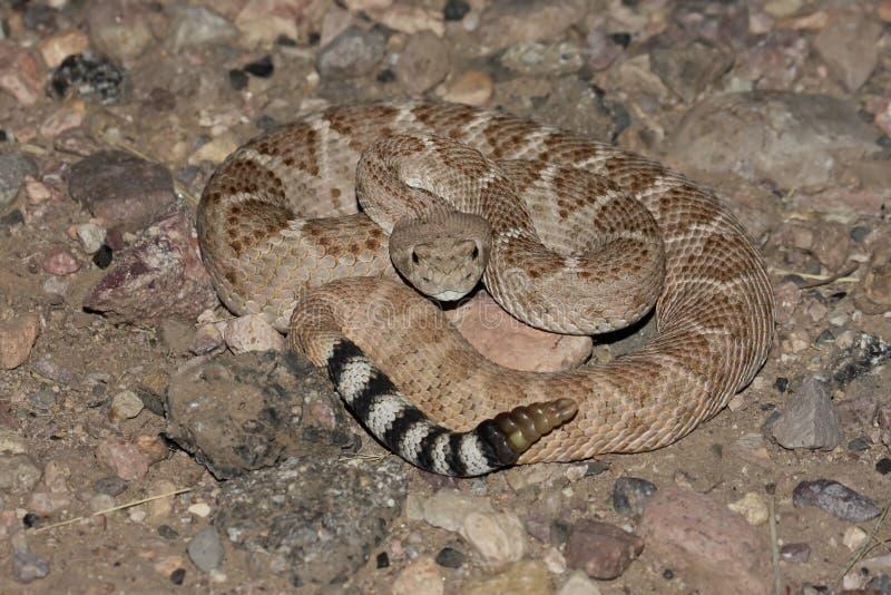 Rattlesnake di Diamondback occidentale (atrox del Crotalus) fotografia stock
