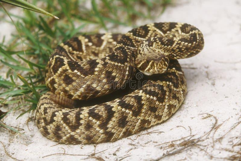 Rattlesnake di Diamondback orientale fotografie stock