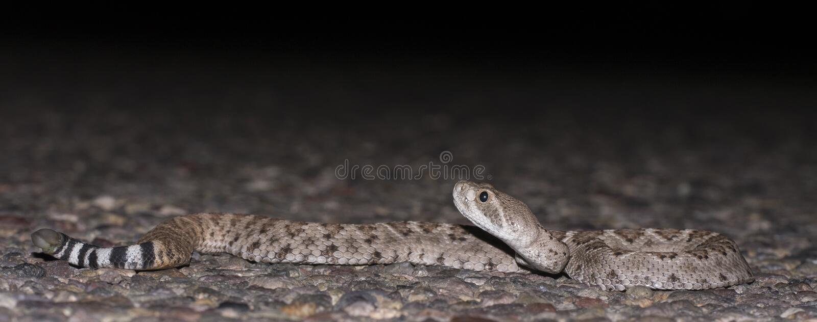 Rattlesnake stock photography