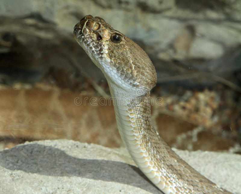 Rattlesnake Head royalty free stock photo