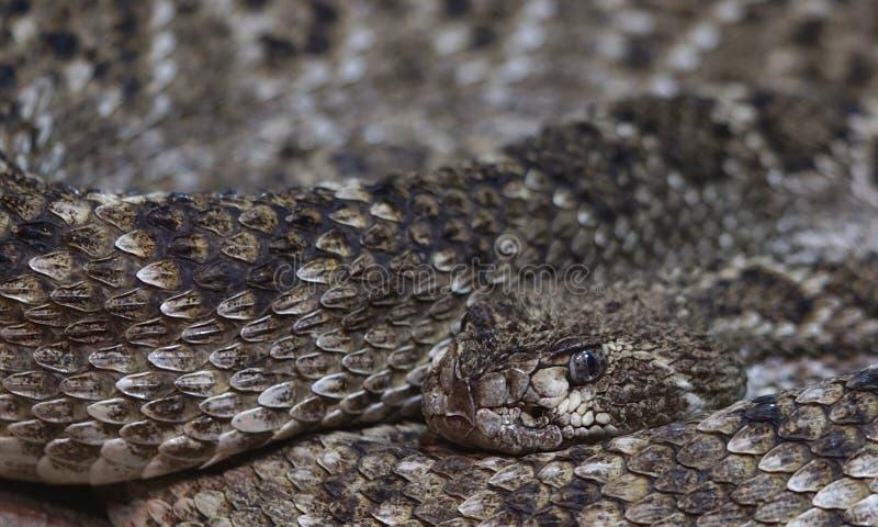 Rattlesnake macro stock photos
