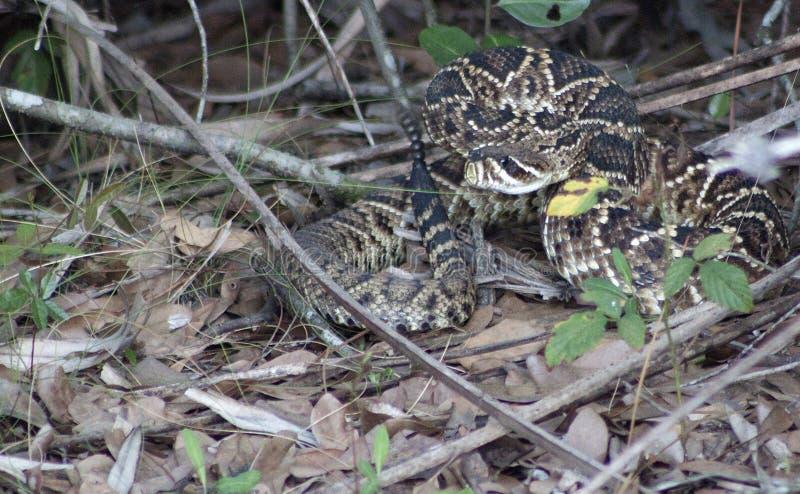 Rattlesnake Ready to Strike stock photos