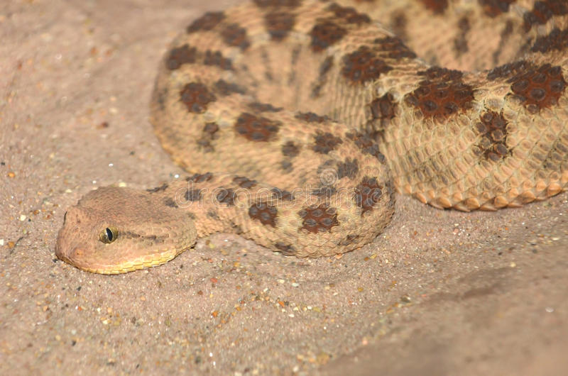 Rattlesnake rosso fotografia stock libera da diritti