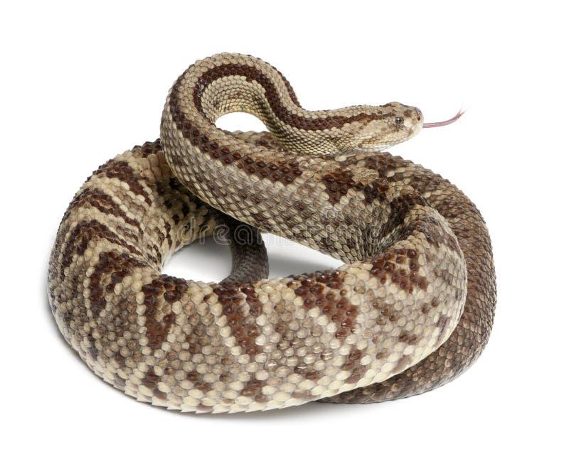 Rattlesnake sudamericano - durissus del Crotalus fotografie stock