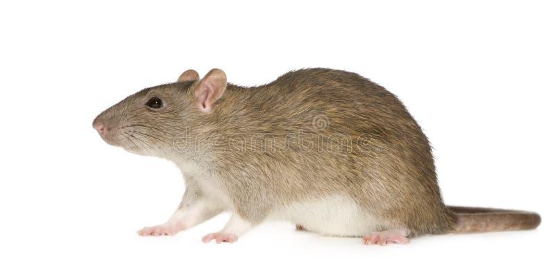 Ratto (6 mesi) fotografia stock libera da diritti