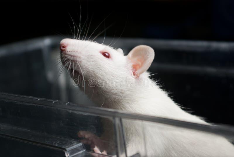Ratto bianco del laboratorio (dell'albino) in gabbia acrilica fotografie stock libere da diritti