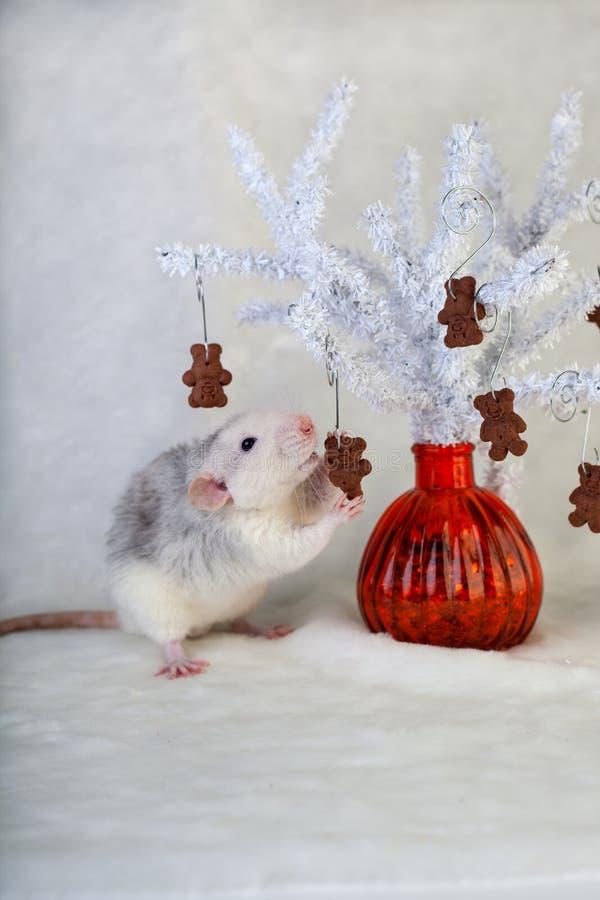 Ratto decorativo che mangia i biscotti di pepita di cioccolato fotografia stock