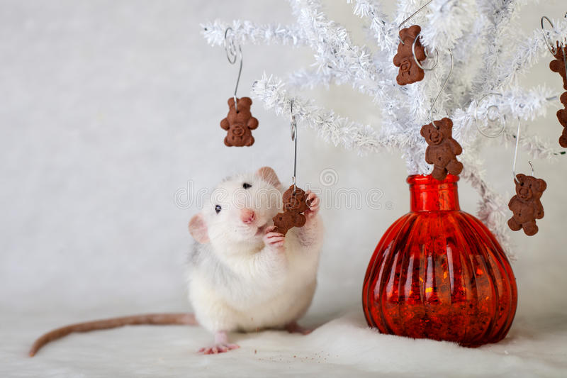 Ratto decorativo che mangia i biscotti di pepita di cioccolato fotografia stock libera da diritti