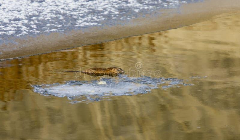 Ratto del muschio sul fiume del Nord fotografia stock libera da diritti