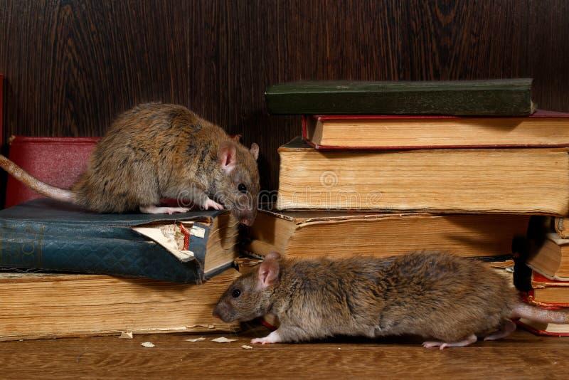 Ratto del primo piano due & x28; Norvegicus& x29 del Rattus; salite sui vecchi libri sulla pavimentazione nella biblioteca immagini stock