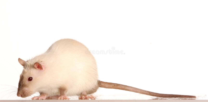 Ratto dell'animale domestico fotografia stock