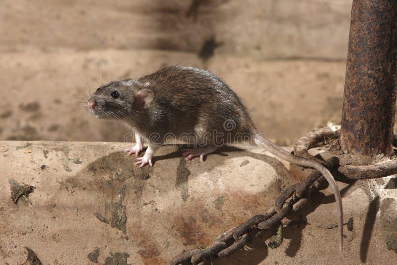 Ratto di Brown, norvegicus del Rattus immagine stock